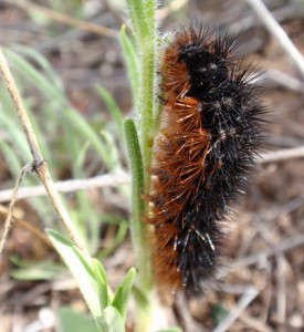 When parasites attack woolly bear caterpillars, such as this <em> Grammia incorrupta</em>, the insects eat leaves loaded with chemicals called alkaloids, which seems to cure the infection. The discovery, by Michael Singer, represents the first clear demonstration of self-medication among bugs.