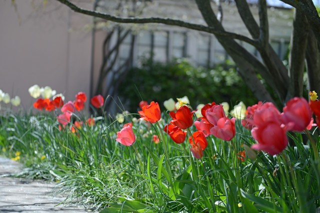 Tulips are blooming behind the Davison Art Center/Alsop House.