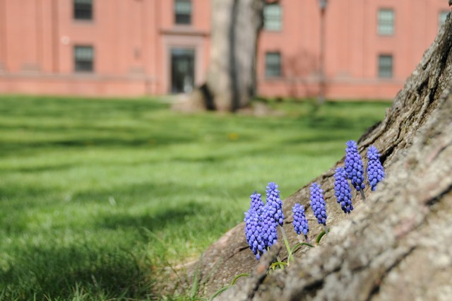 Grape hyacinths near 41 Wyllys.