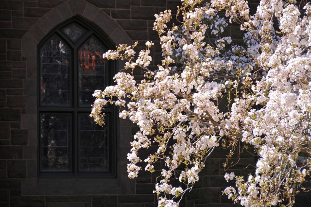 Cherry tree near Memorial Chapel on May 1.