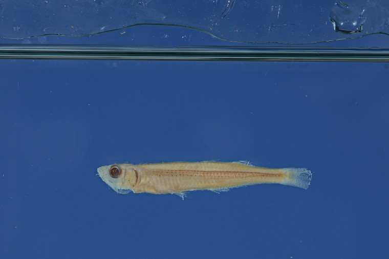 Chernoff photographed the fish for a scientific paper that he's submitting for publication. The paper will describe the two new species and their two new, formal names.