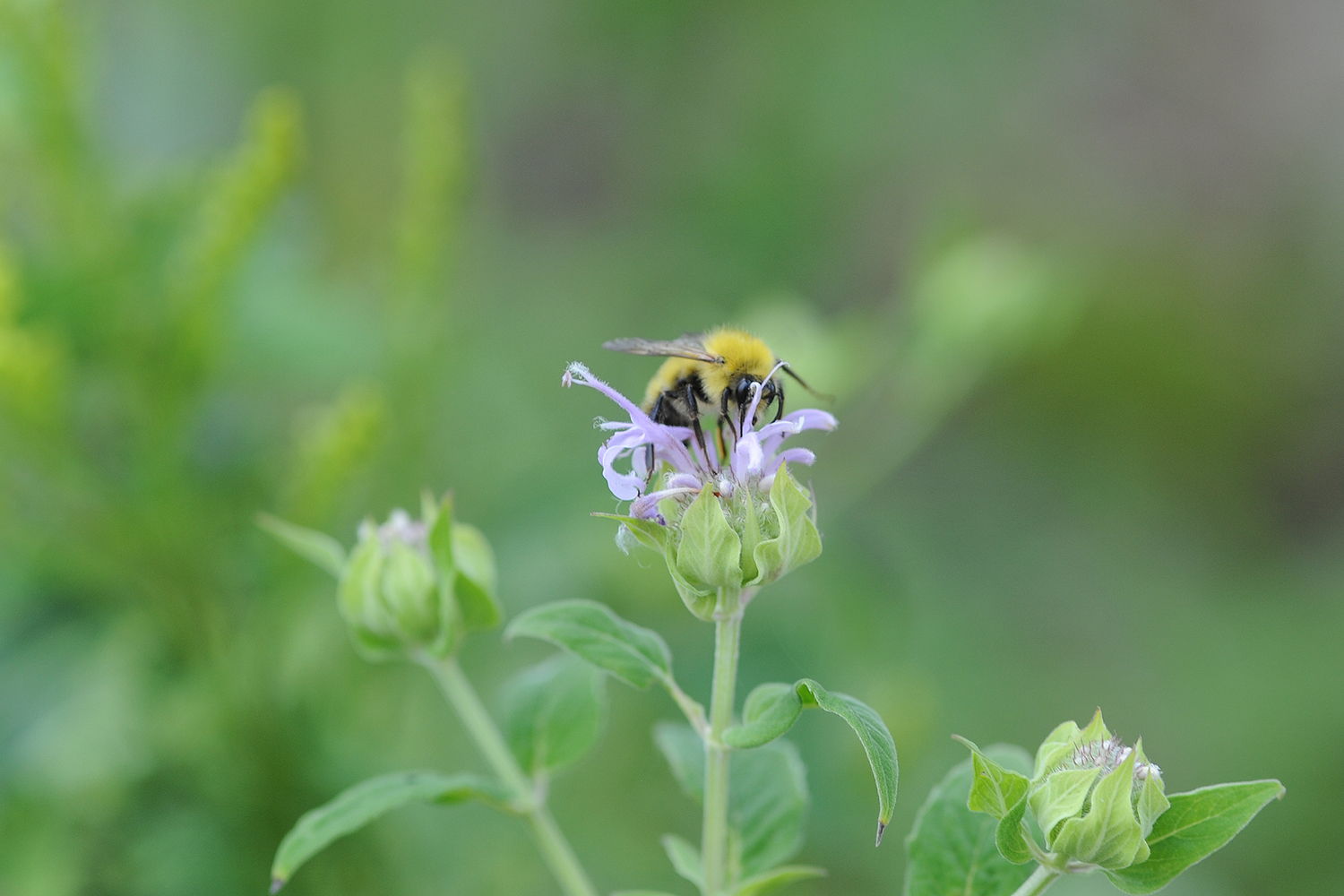 A bee on beebalm.