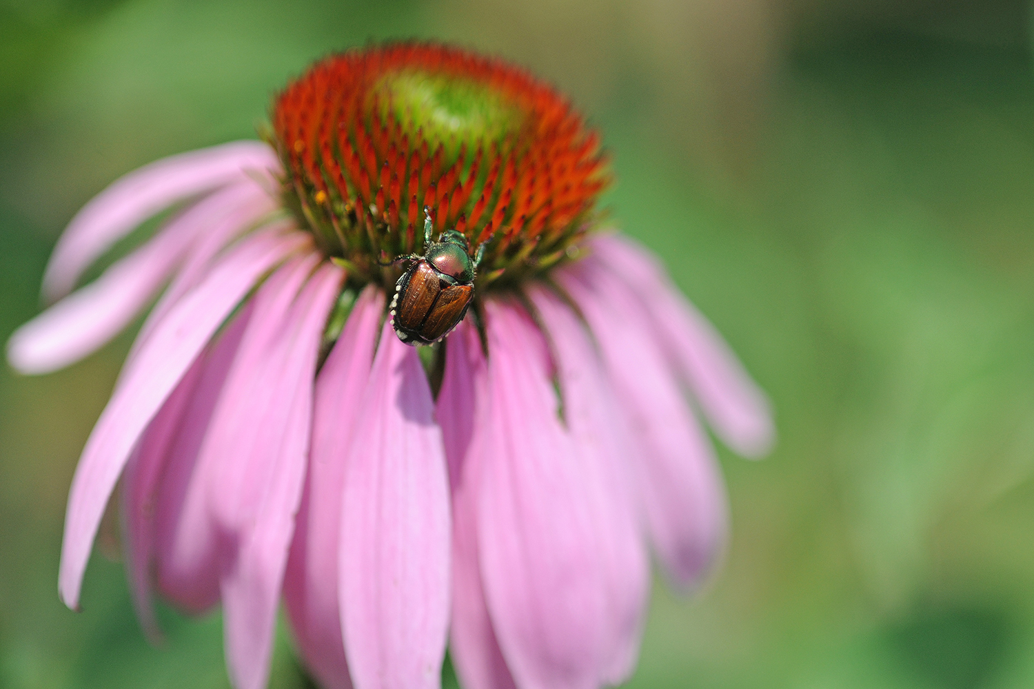 Beetle on a purple cone flower.