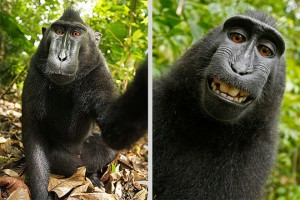 A selfie taken by an endangered crested black macaque.