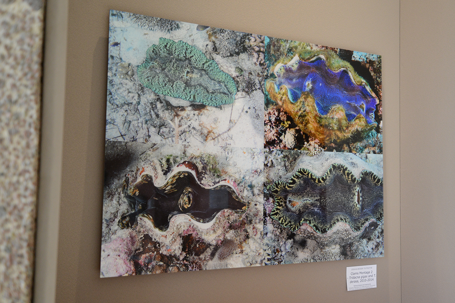 """""""Clams Montage 2"""" features the species Tridacna gigas and Tridacna derasa, photographed in 2010-2014."""