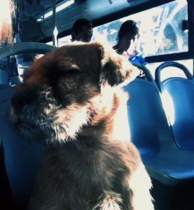 """Kari Weil, University Professor of Letters, director of the College of Letters, photographed this stray dog on a bus while attending a """"Current Trends in American Animal Studies Educational Diplomacy"""" program at the U.S. Embassy in Santiago. Stray dogs are part of the culture in Santiago."""