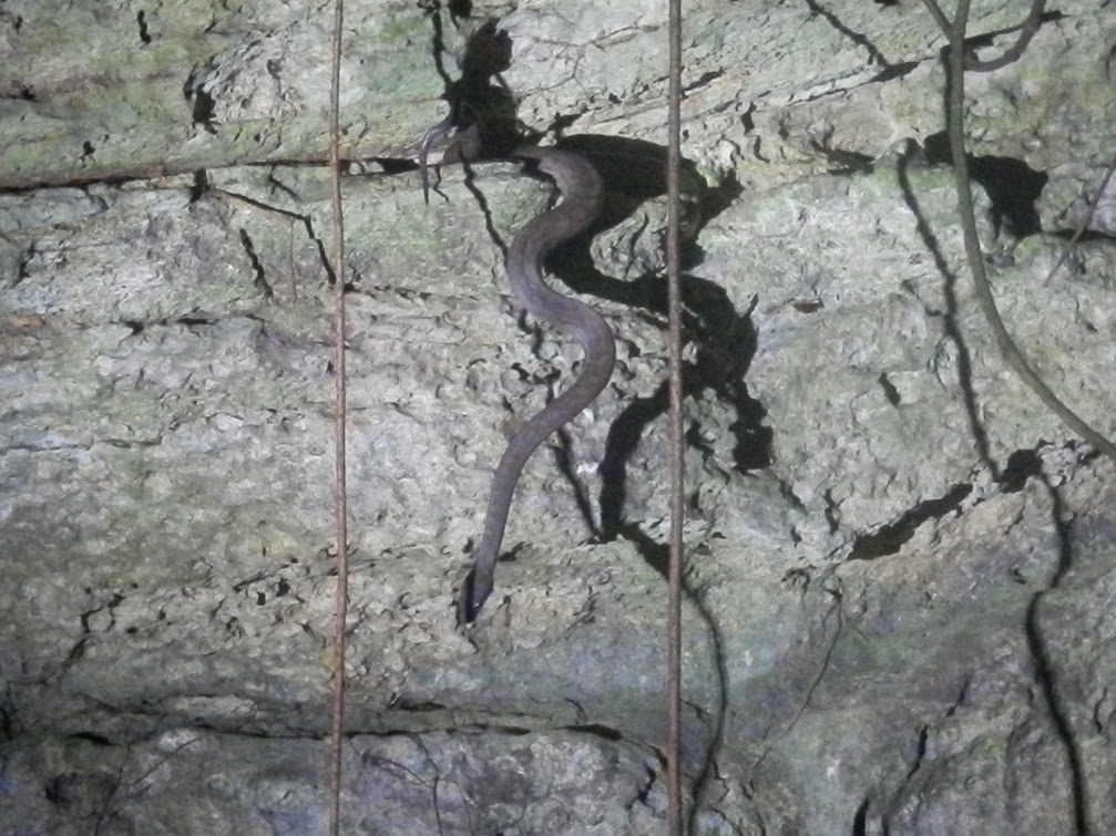 A boa in the bat cave.  The boas wait near the entrance to capture a bat for its meal.