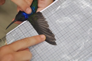 Measuring the wingspan of a hummingbird.