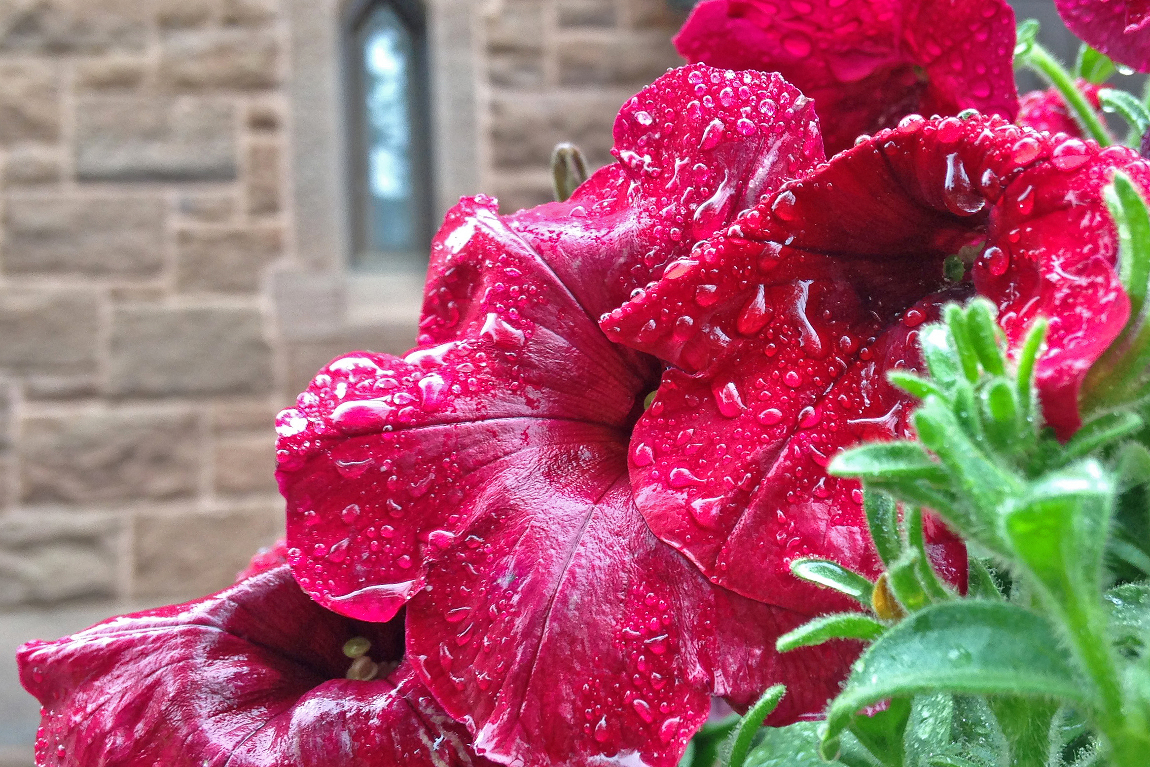 Red petunia near Memorial Chapel.