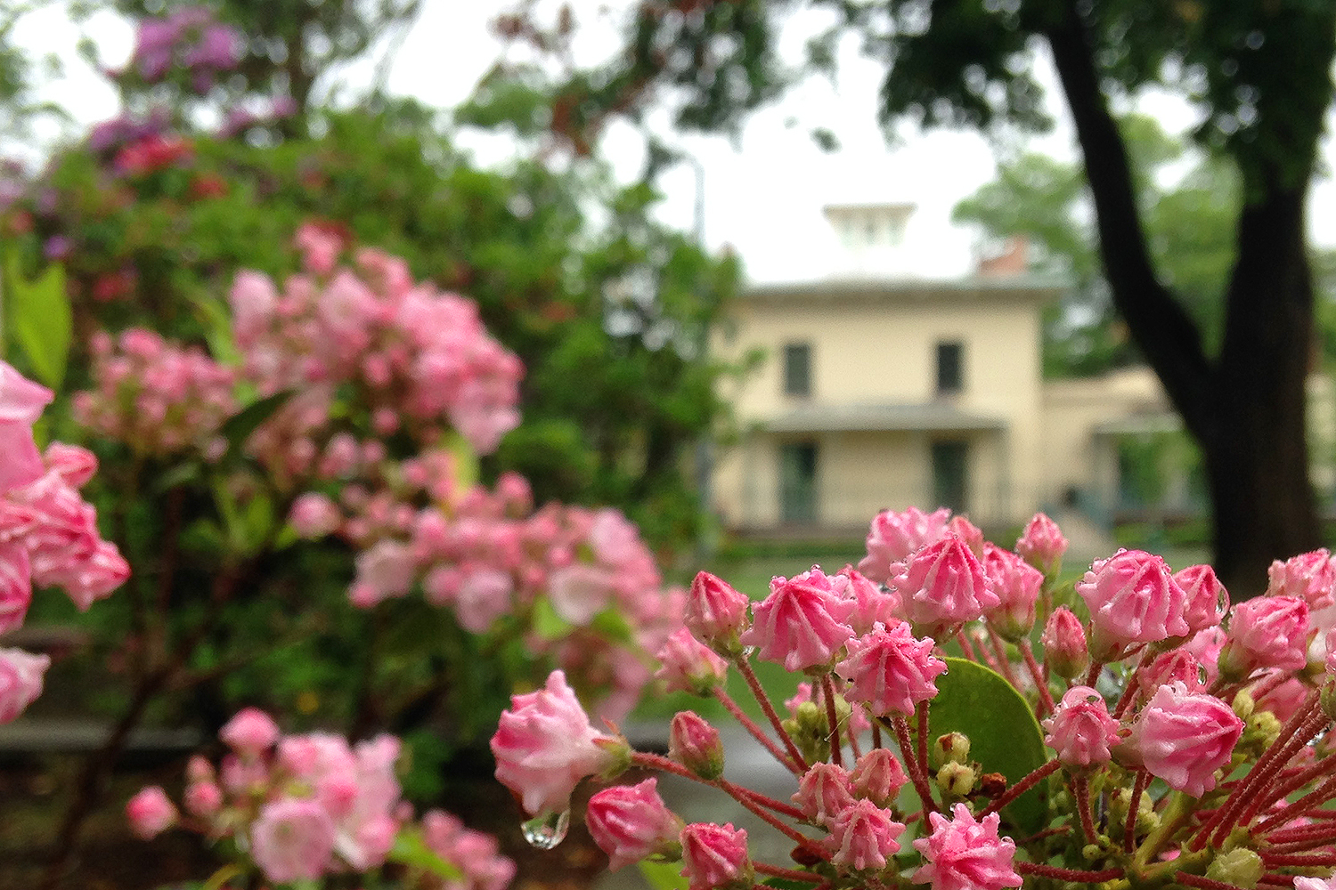 Mountain laurel near the Davison Art Center and Downey House (pictured).