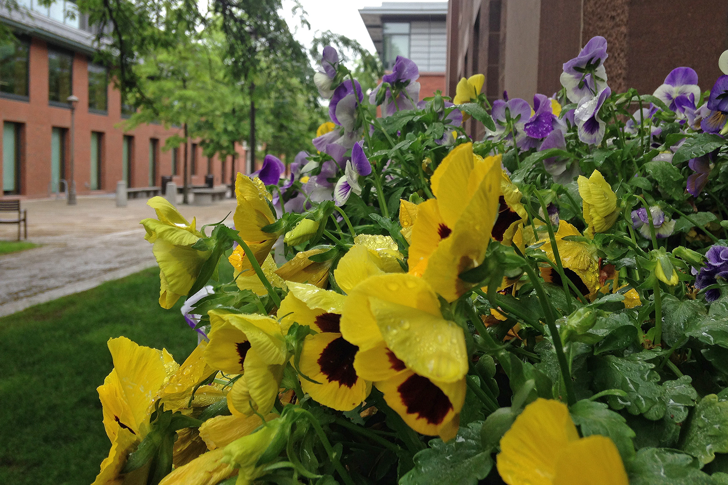 Pansies behind North College.