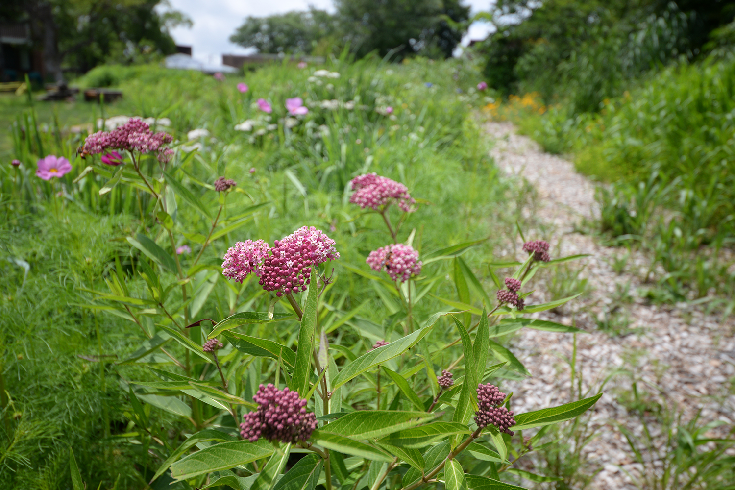Swamp milkweed lines the courtyard's main trail.
