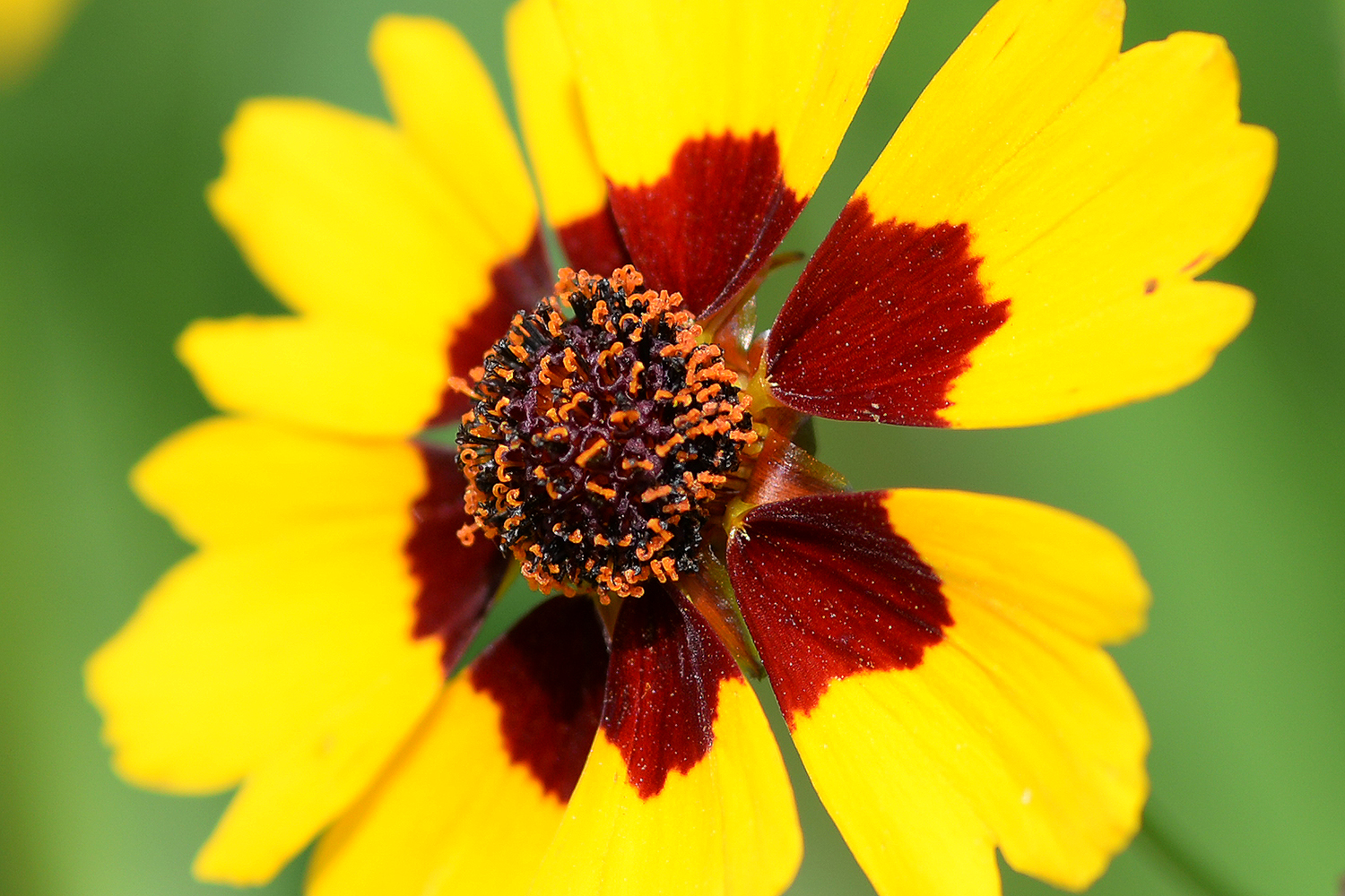 Plains coreopsis is often cultivated as a native plant for wildlife gardens and natural landscaping.