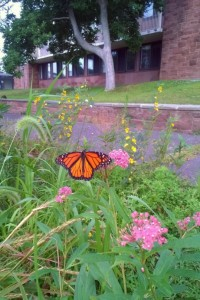 A monarch butterfly thrives in the West College Courtyard. The two acre garden is maintained by WILD Wes and supported by the Wesleyan Green Fund.