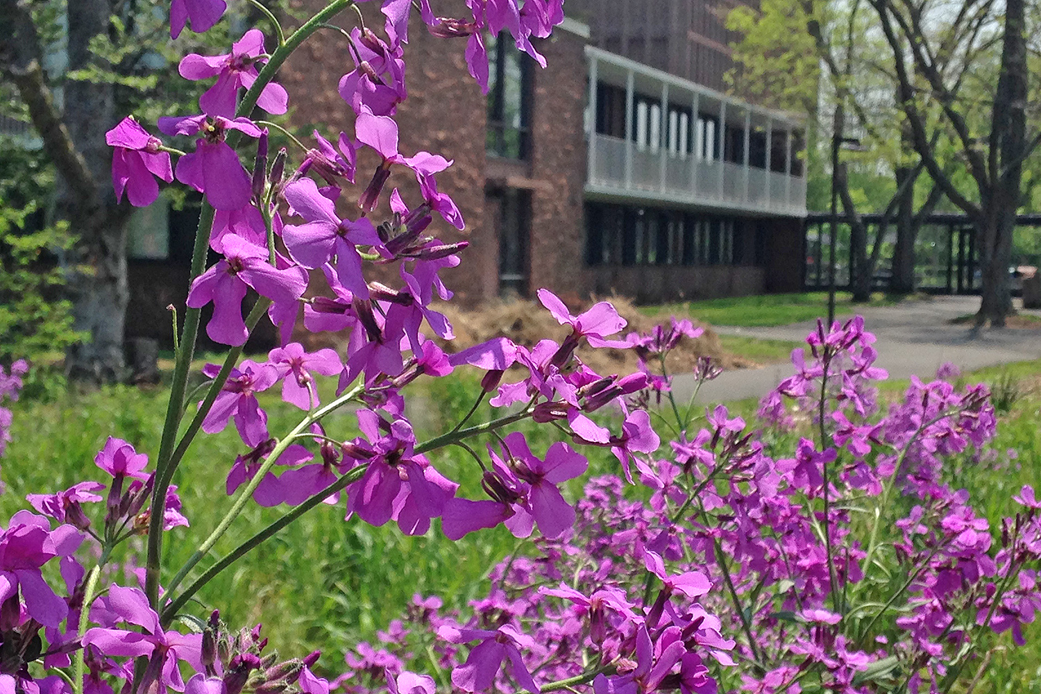 Phlox blooms near the West College residences.