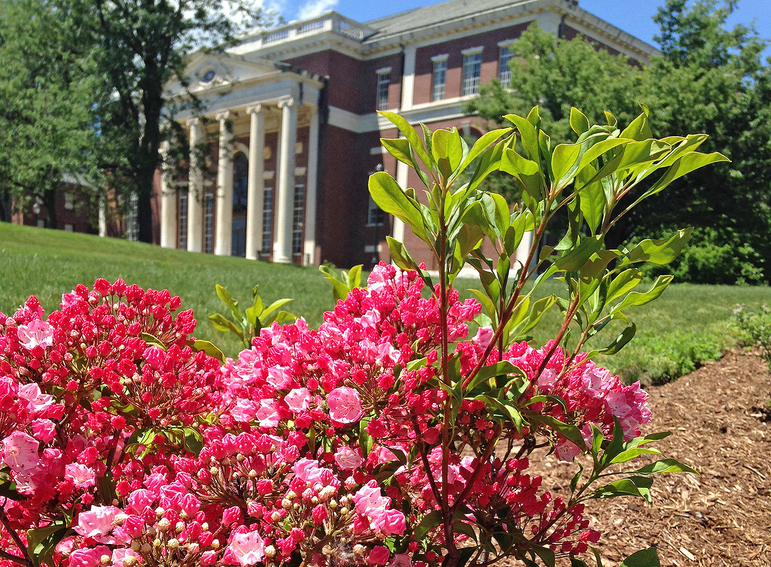 Pink mountain laurels bloom near Olin Library.
