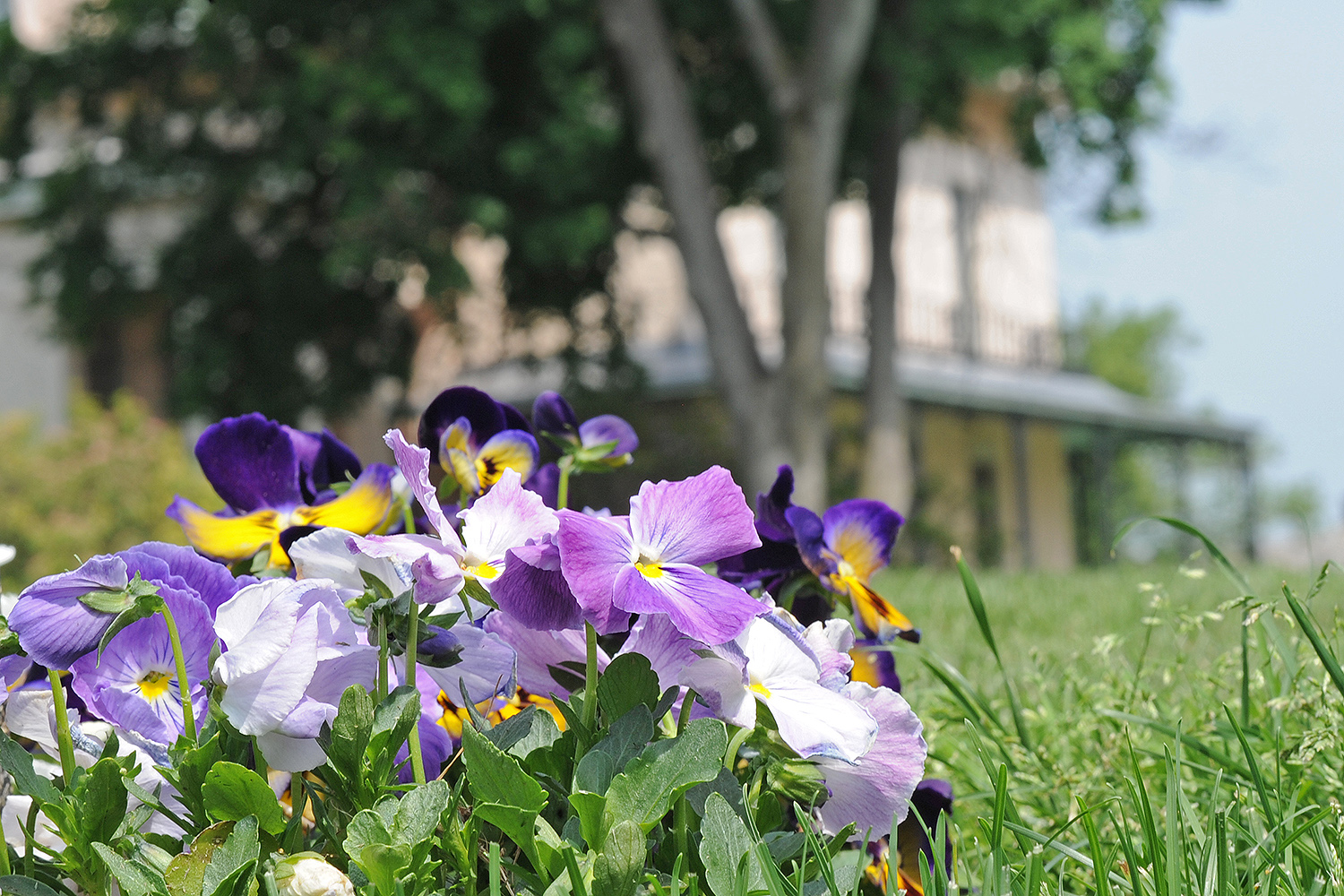 Planted pansies bloom near Davison Art Center.