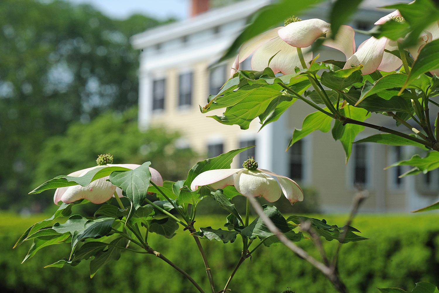 A dogwood tree blooms near the Center for the Americas.