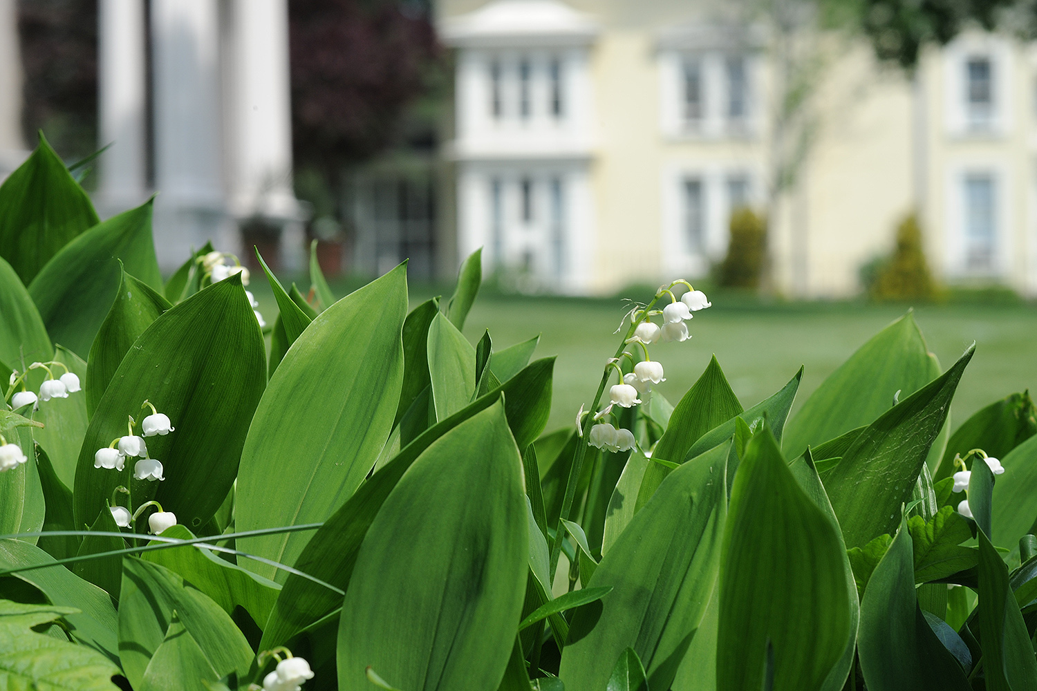Lily of the Valley grows near the President's House. Pictured in the background is the Archeology Department.