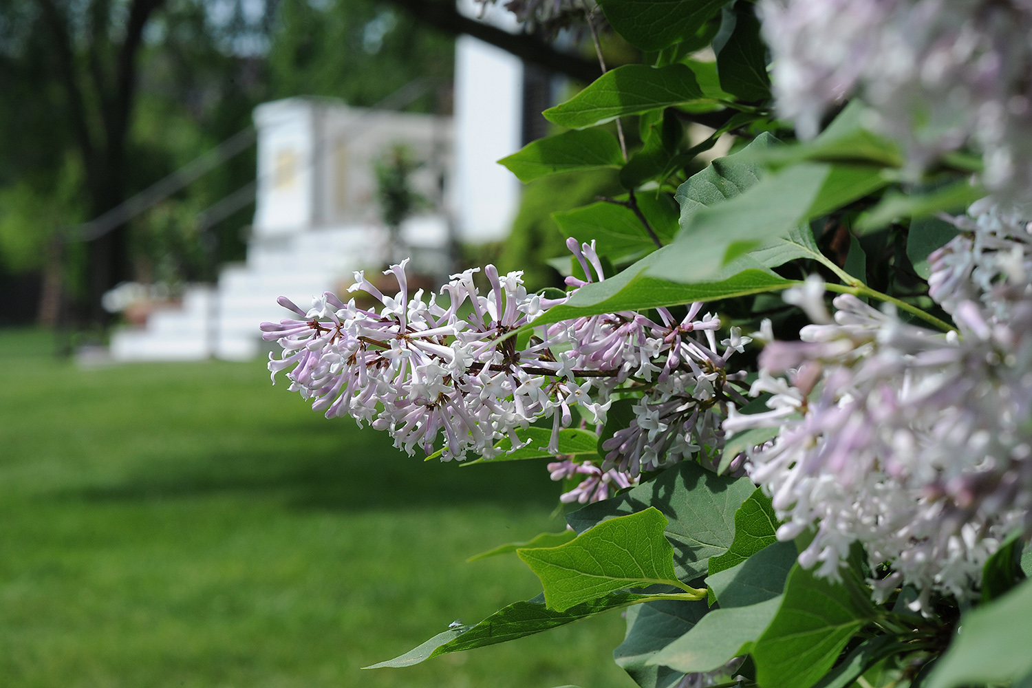 Lilacs radiate a sweet smell near the Center for the Americas.