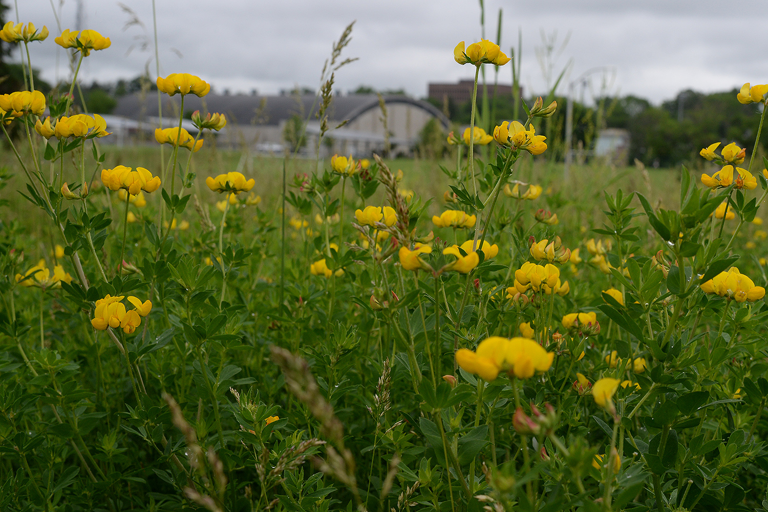 Buttercups bloom in a natural area between Physical Plant and the Freeman Athletic Center.