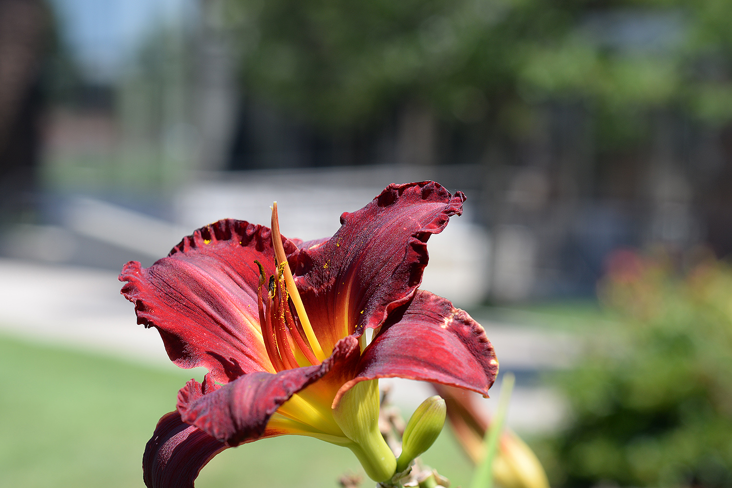 A red lily blossoms behind the '92 Theater.