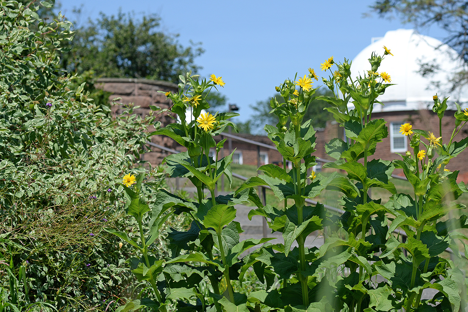 Wild sunflowers bloom in the West College Courtyard near Van Vleck Observatory.