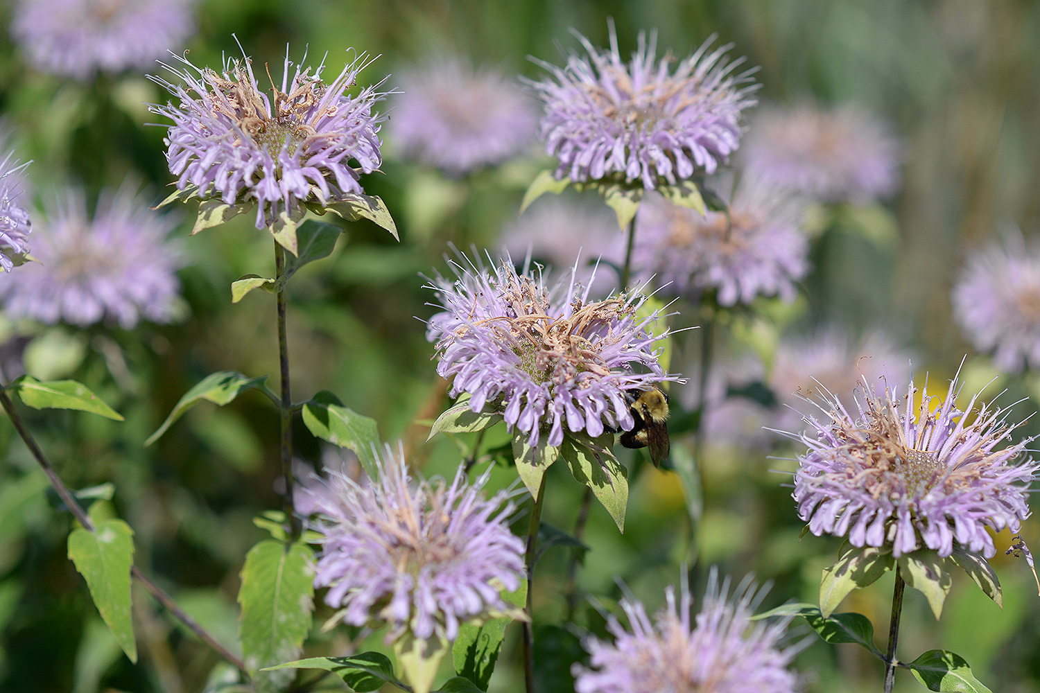 Bees enjoy bee balm plantings in the Wild Wes Courtyard.