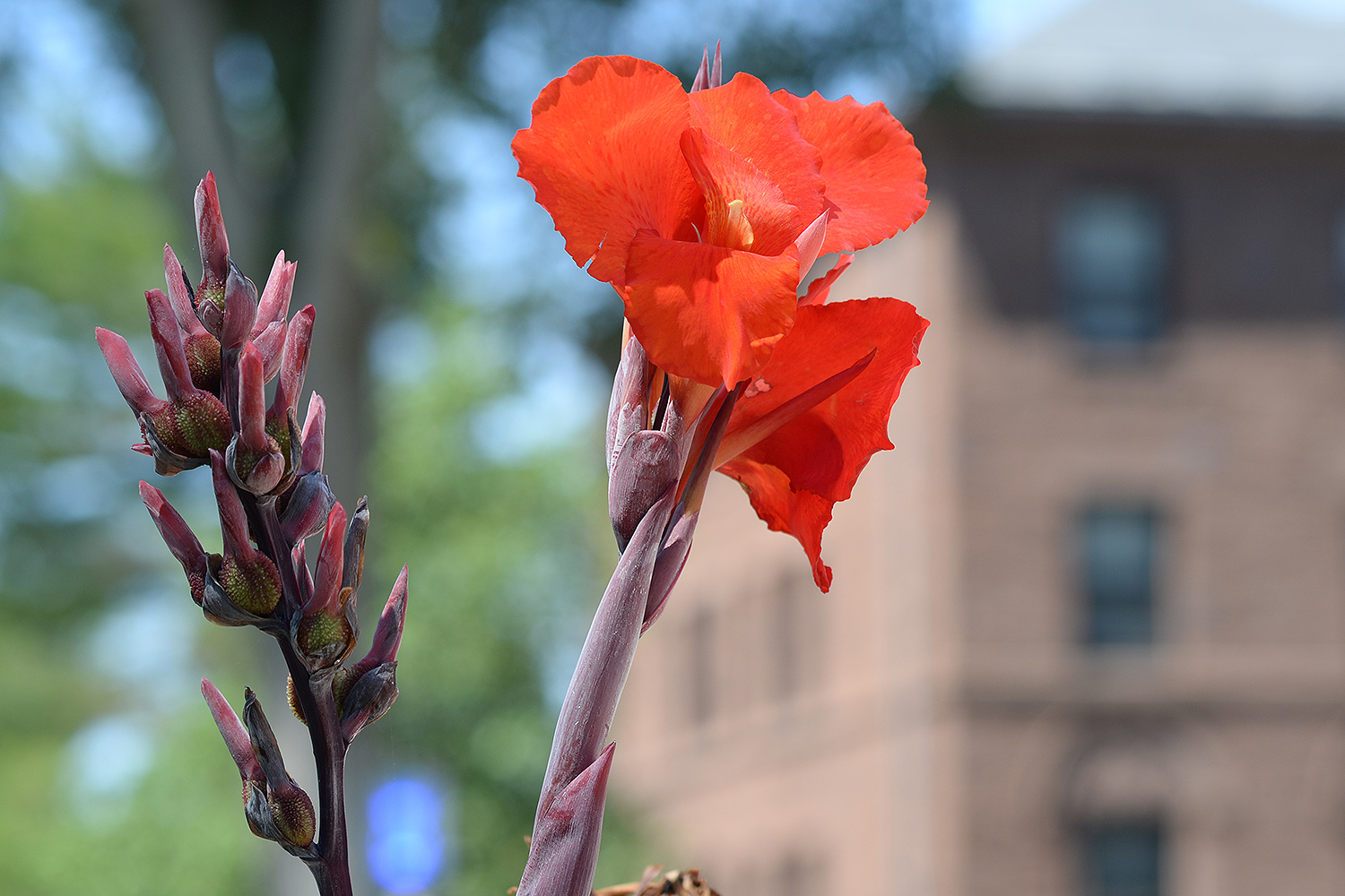 A striking canna lily shows off its red petals near Clark Hall.