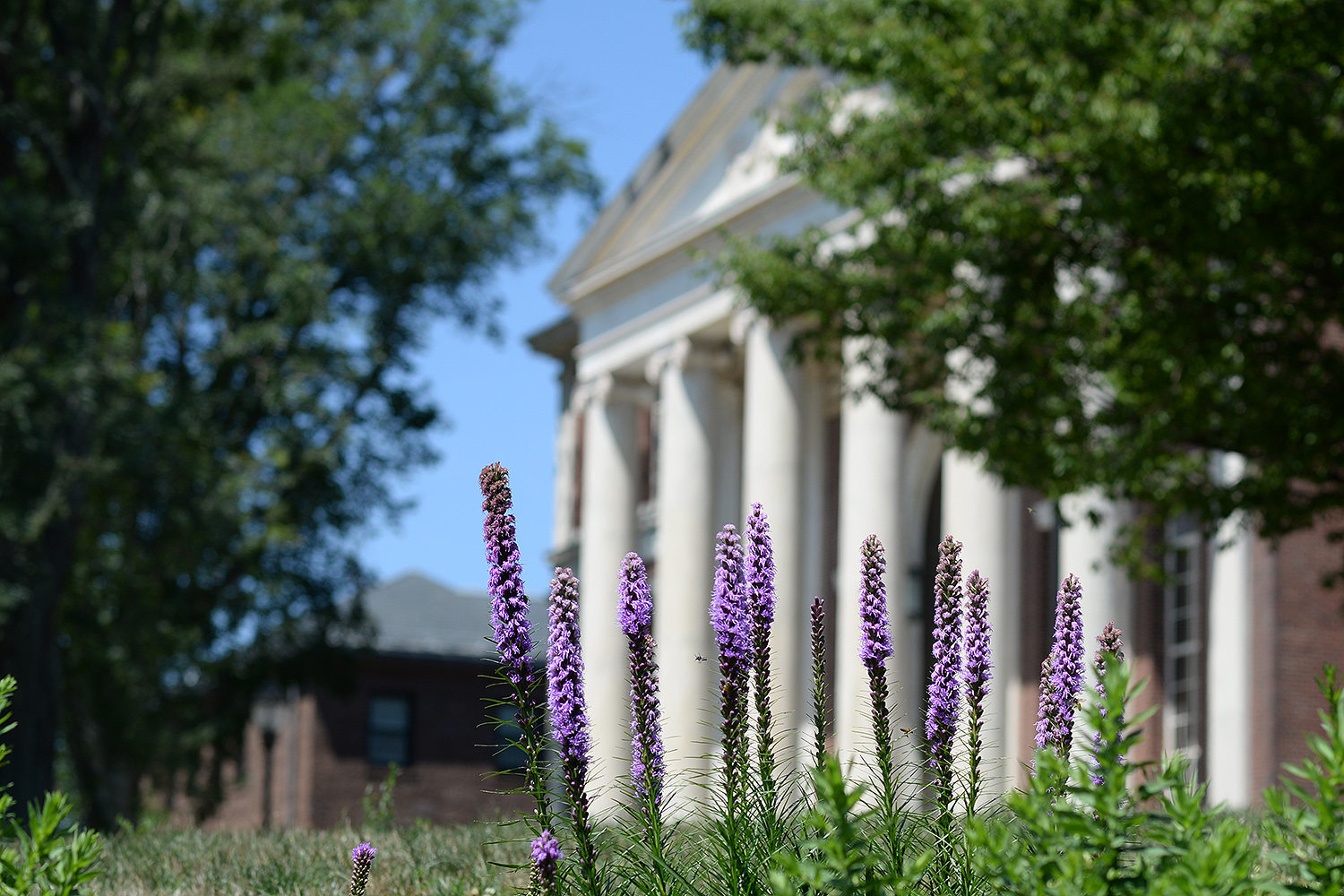 Purple laitris mimic the pillars of Olin Library.