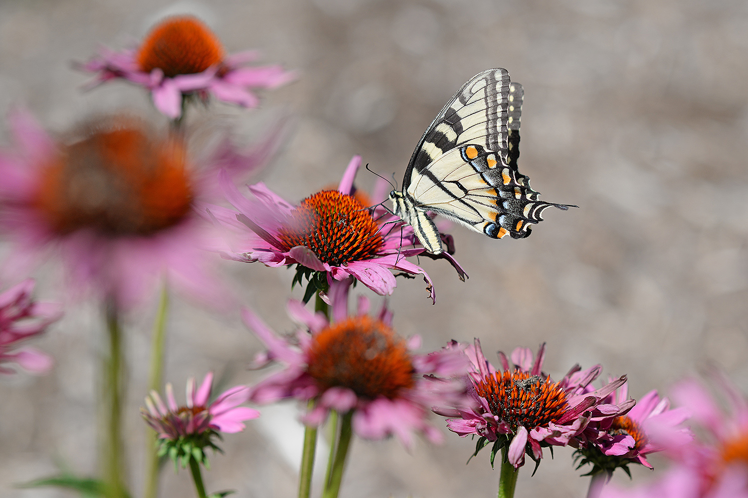 A swallowtail butterfly sips nectar from a purple cone flower near Allbritton Hall.