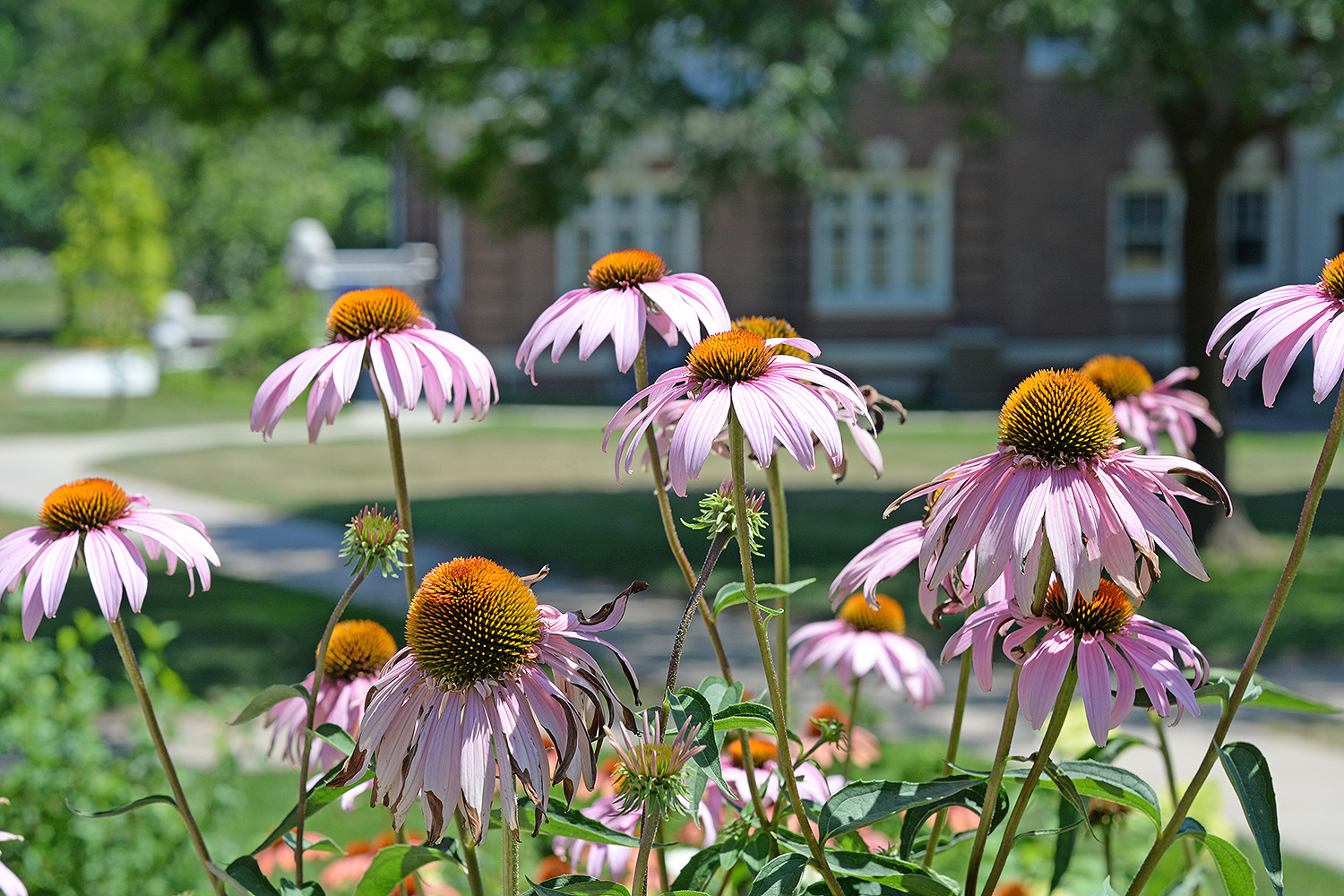 Purple coneflowers overlook Alpha Delta Pi.