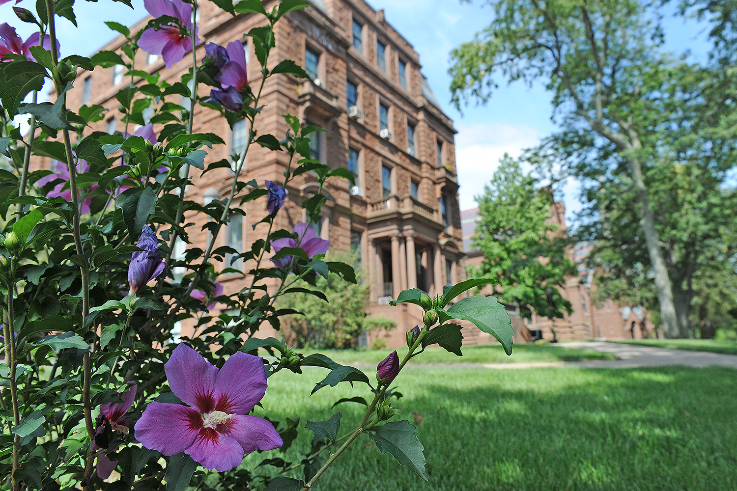 A Rose of Sharon, a deciduous flowering shrub, blooms near Judd Hall.