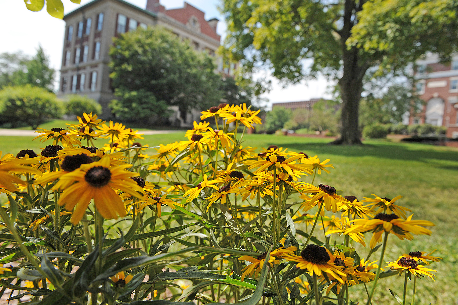 Black-eyed Susans grow near Judd Hall and Allbritton Hall.