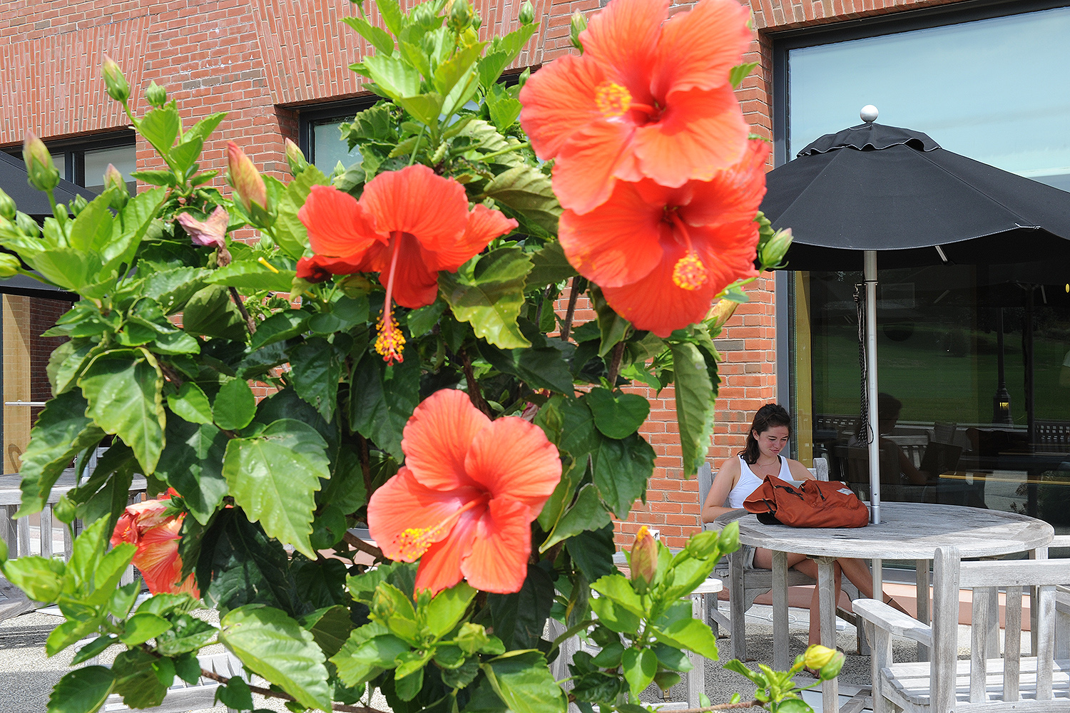 Peach hibiscus grow in planters near Usdan and Fayerweather.