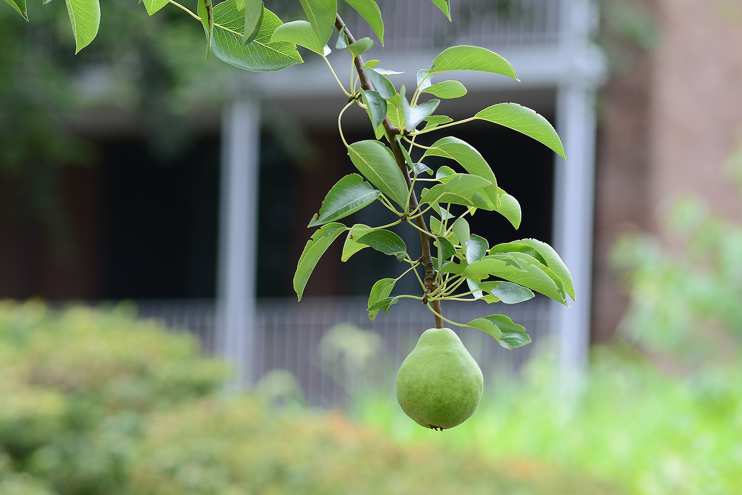 A perfect pear grows in the West College Courtyard.