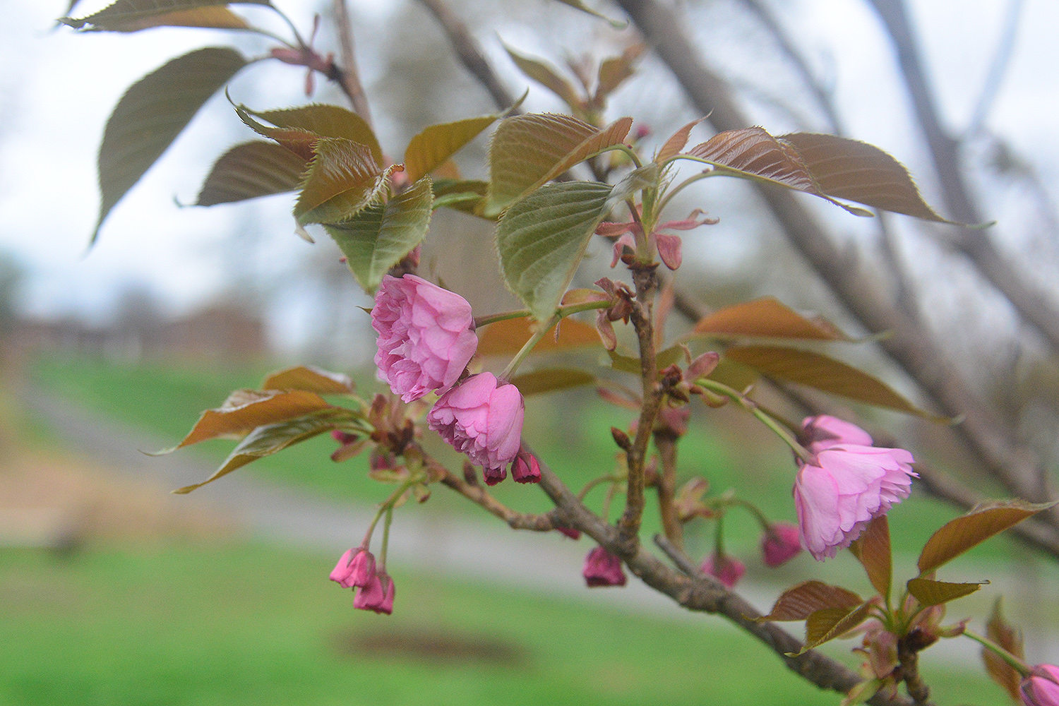 Eight Kwanzan flowering cherry trees are planted near the West College Courtyard. They will be in full bloom in early May.