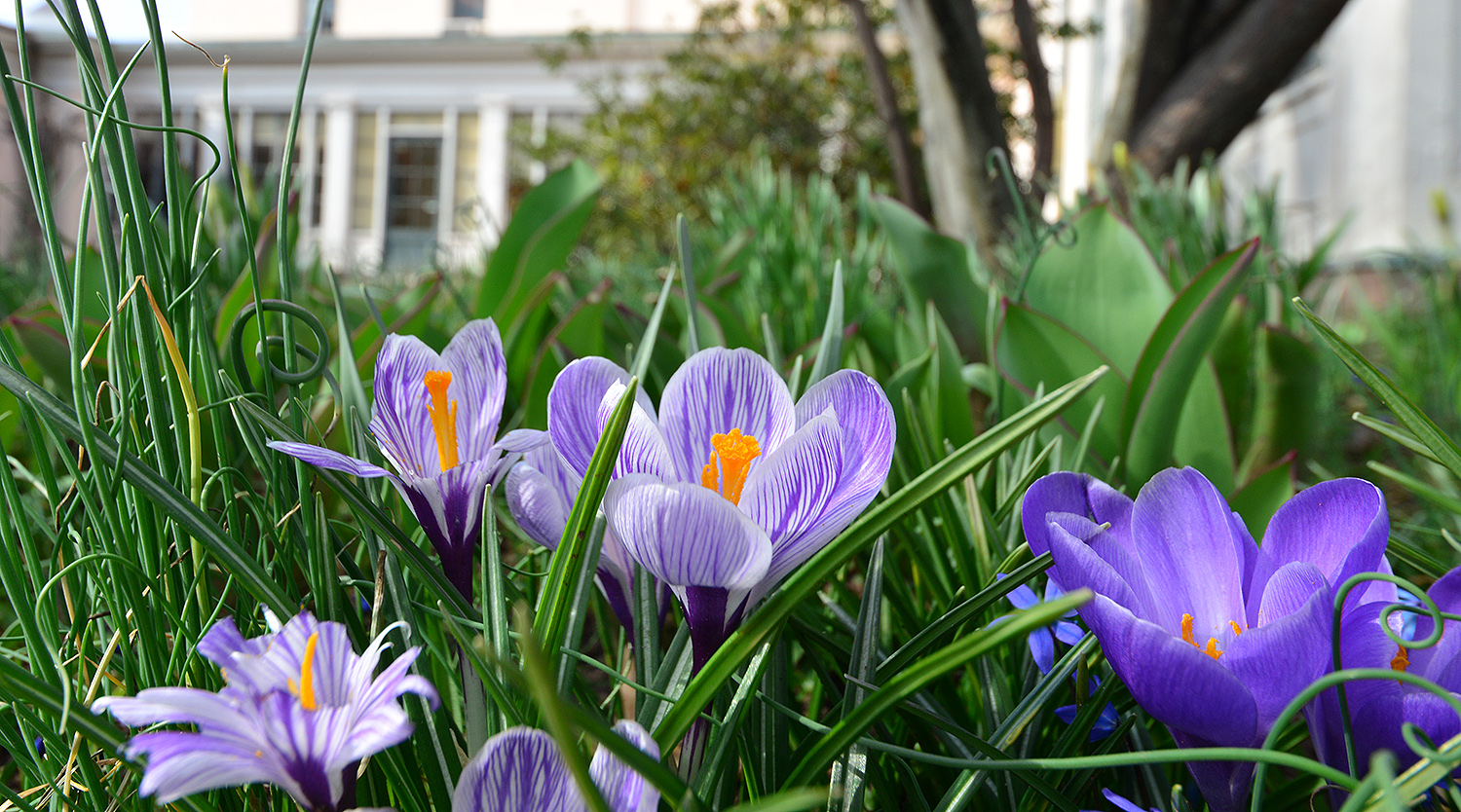 Dainty violet crocuses grow behind the Davison Art Center on April 3.