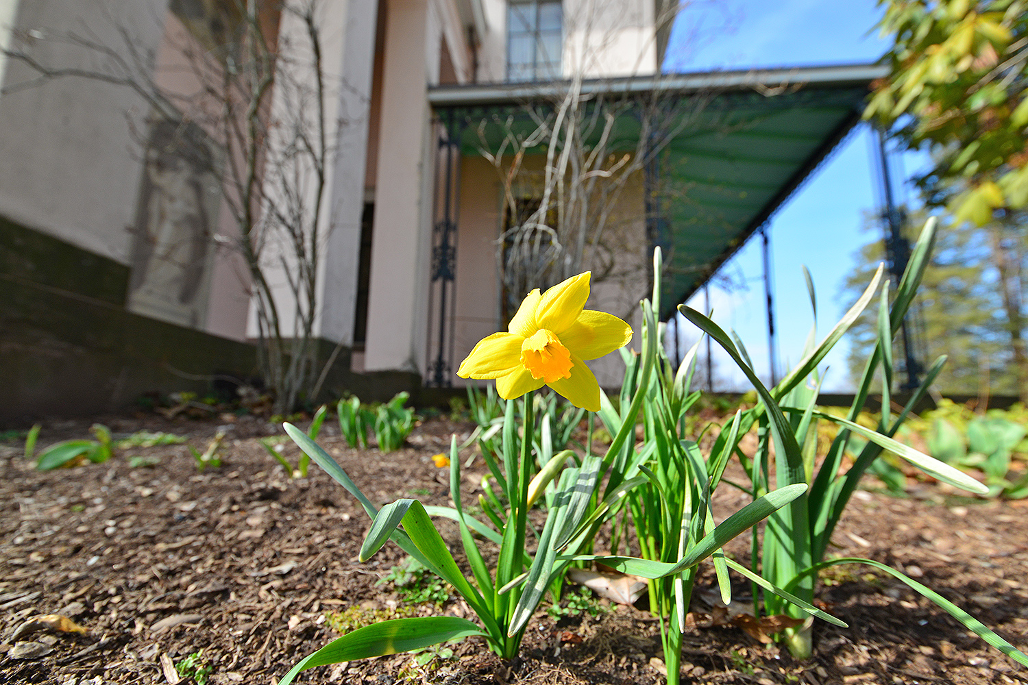 The first daffodil of spring has sprung at the Davison Art Center, April 3.