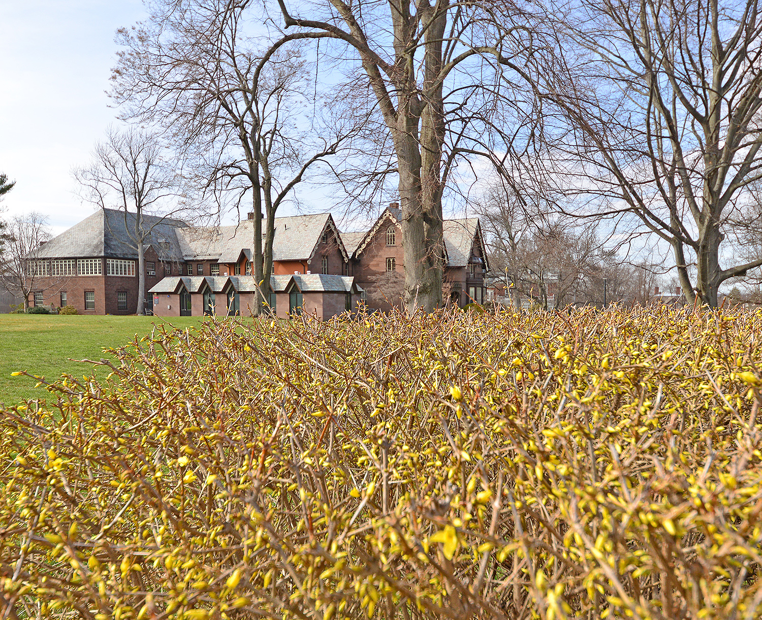 Golden forsythia buds start to bloom near the Davison Health Center on April 3.