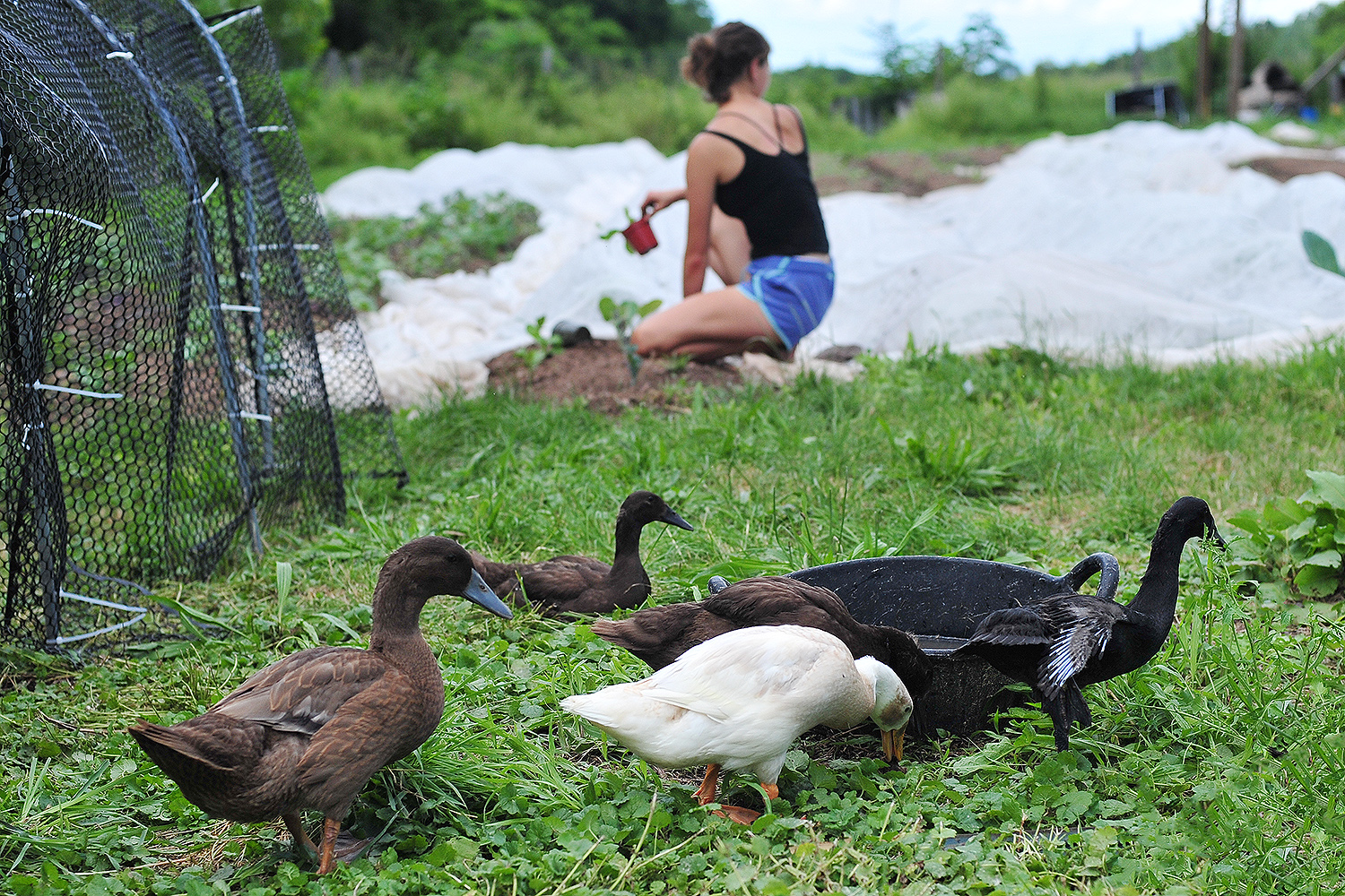 Domesticated ducks keep the farmers company while they're in the field.