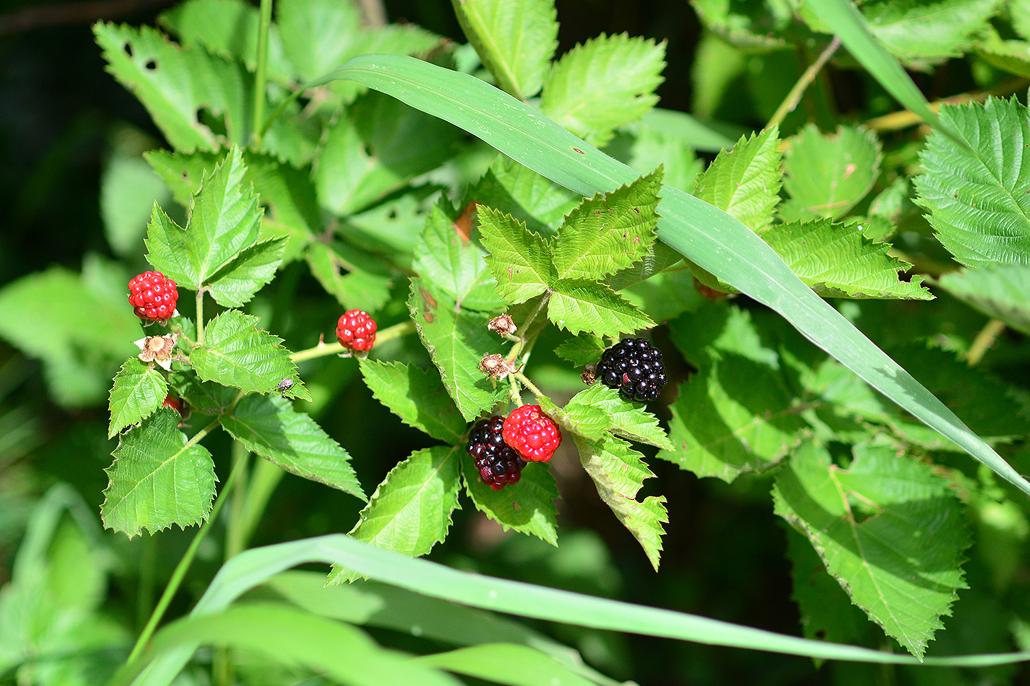 Blackberries, blueberries and multiple fruit trees offer edible treats throughout the summer for humans and wildlife.