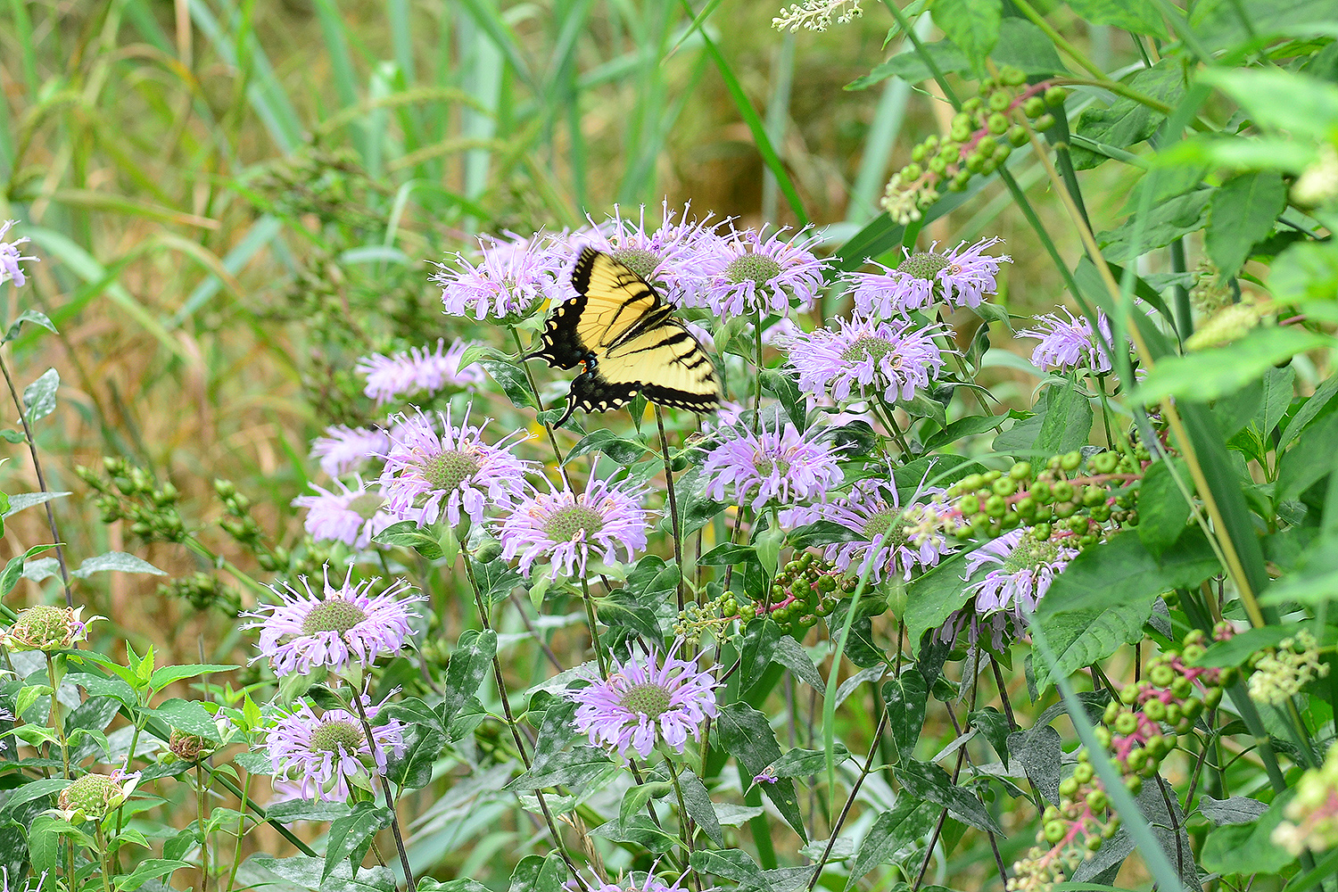 A swallowtail sips nectar from a bee balm patch in the West College Courtyard. Butterflies, bees and hummingbirds are attracted to the perennial, which grows in abundance at the garden.