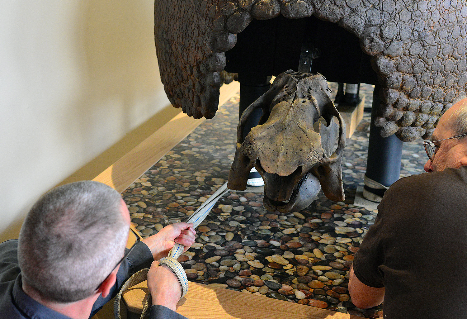 "Dave Strickland pulls the Glyptodon forward before gluing its ""feet"" to the wooden base."