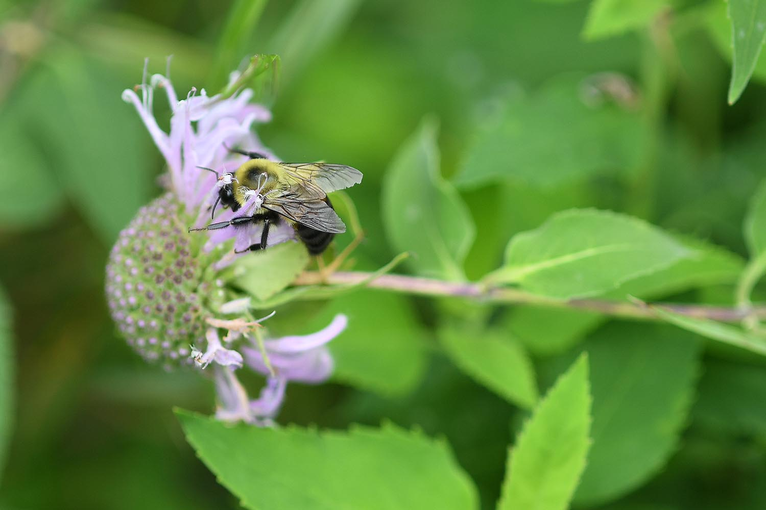 A bumblebee collects pollen from a beebalm flower.
