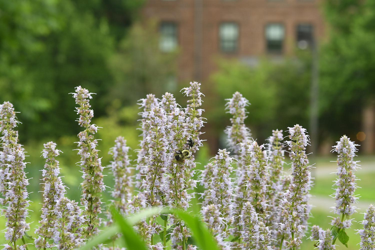 Salvia grows in the West College Courtyard.