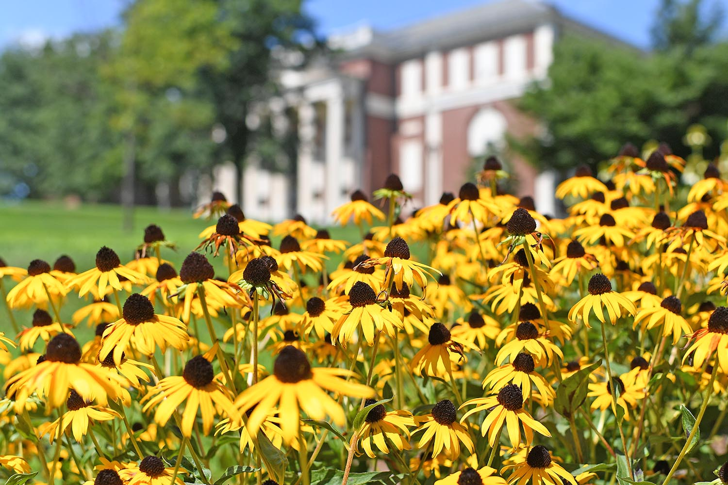 A bounty of black-eyed Susans grow near Olin Library.