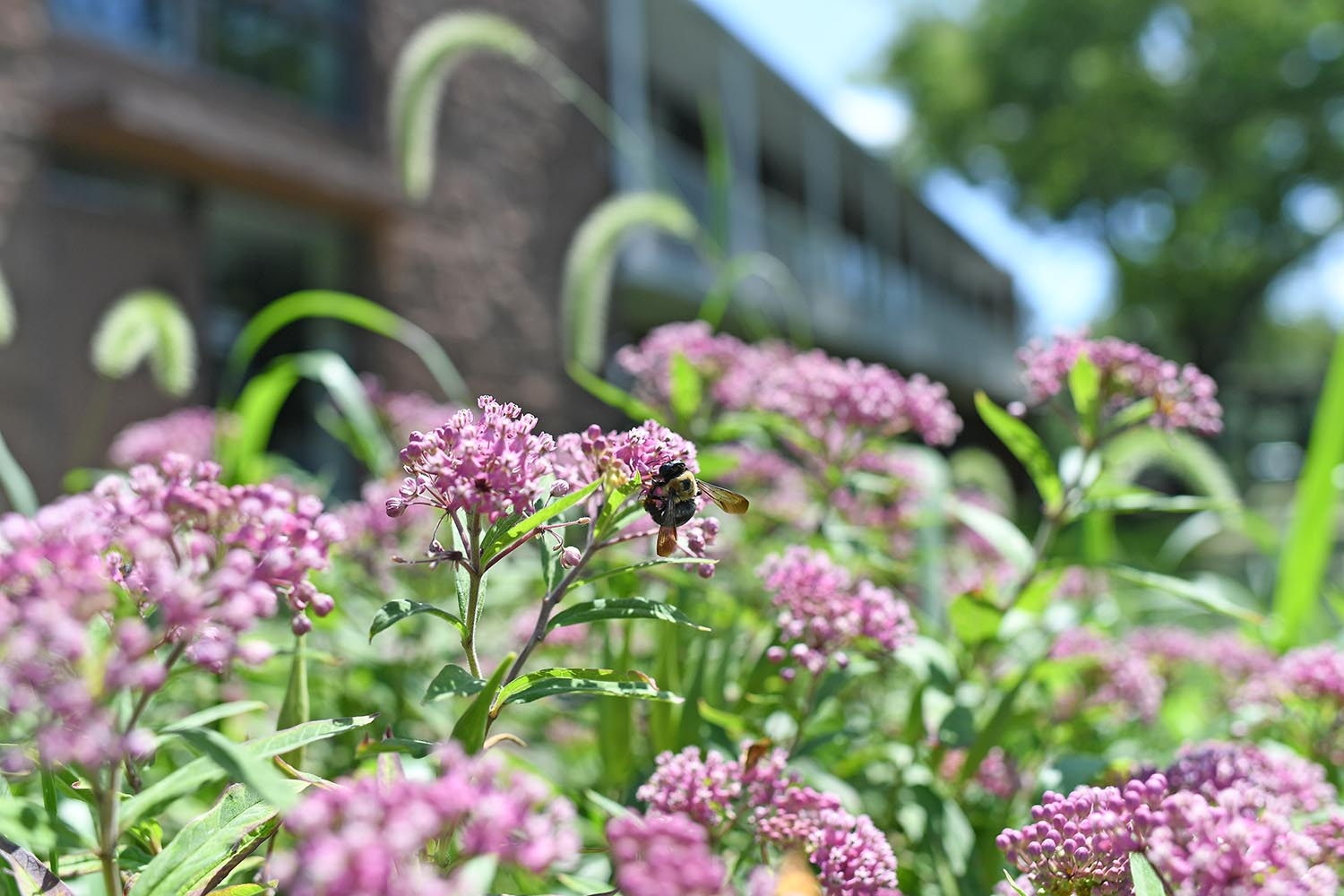 Swamp milkweed grows in abundance near West College.
