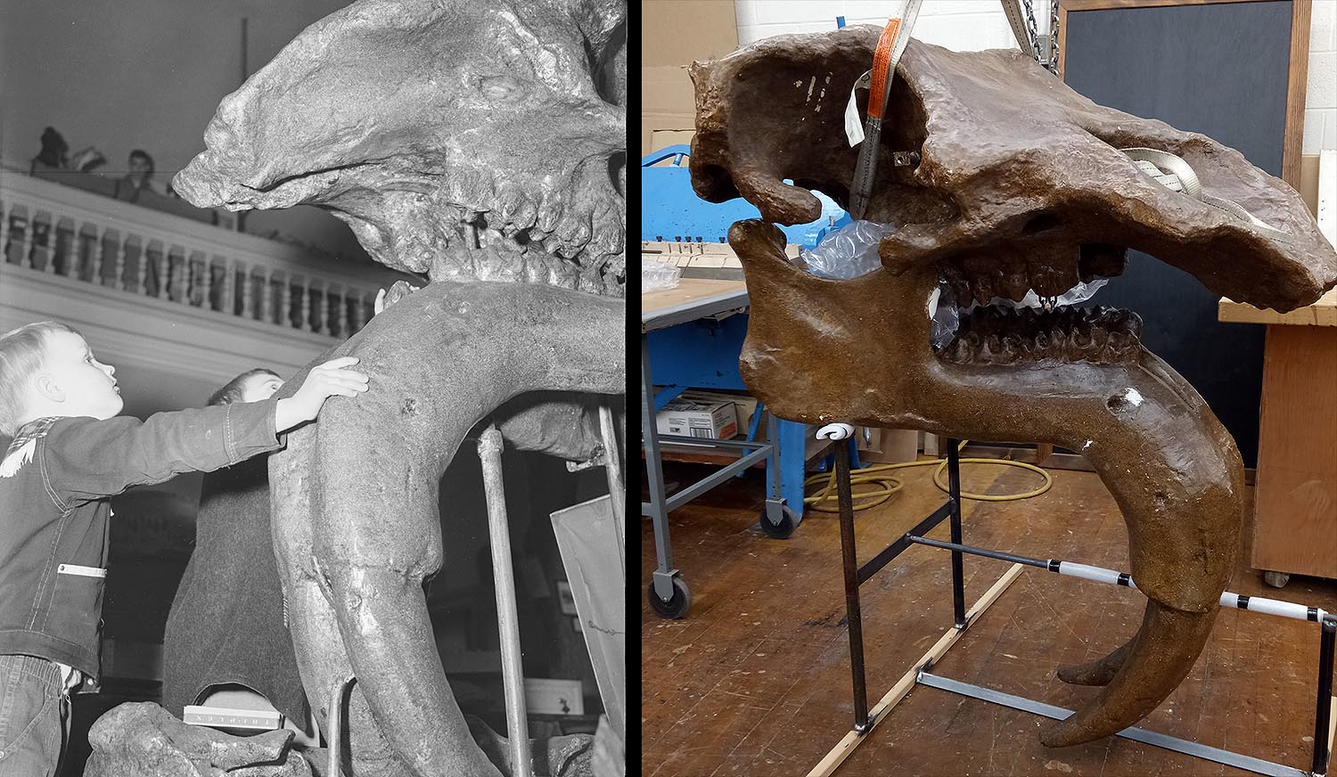 Another planned exhibit is that of the huge skull of a Deinotherium, an extinct elephant-relative with its tusks growing from the lower jaw. The Deinotherium, which was once on display in the Wesleyan Museum, is currently housed in Wesleyan's Machine Shop. It will soon be installed in a hallway in Exley.