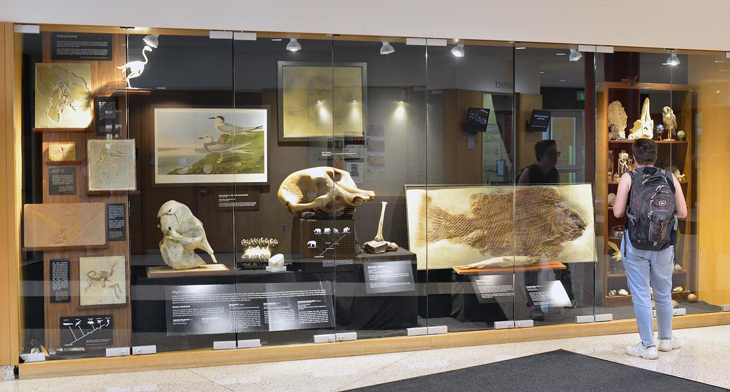 "The exhibit ""Shelving the History of Life"" will be featured inside the display cases in Usdan Universiy Center throughout the fall semester. The true-to-scale exhibit showcases specimens curated, restored, prepared, and documented from the Joe Webb Peoples Museum of Natural History, the former Wesleyan Museum, and other collections on campus."